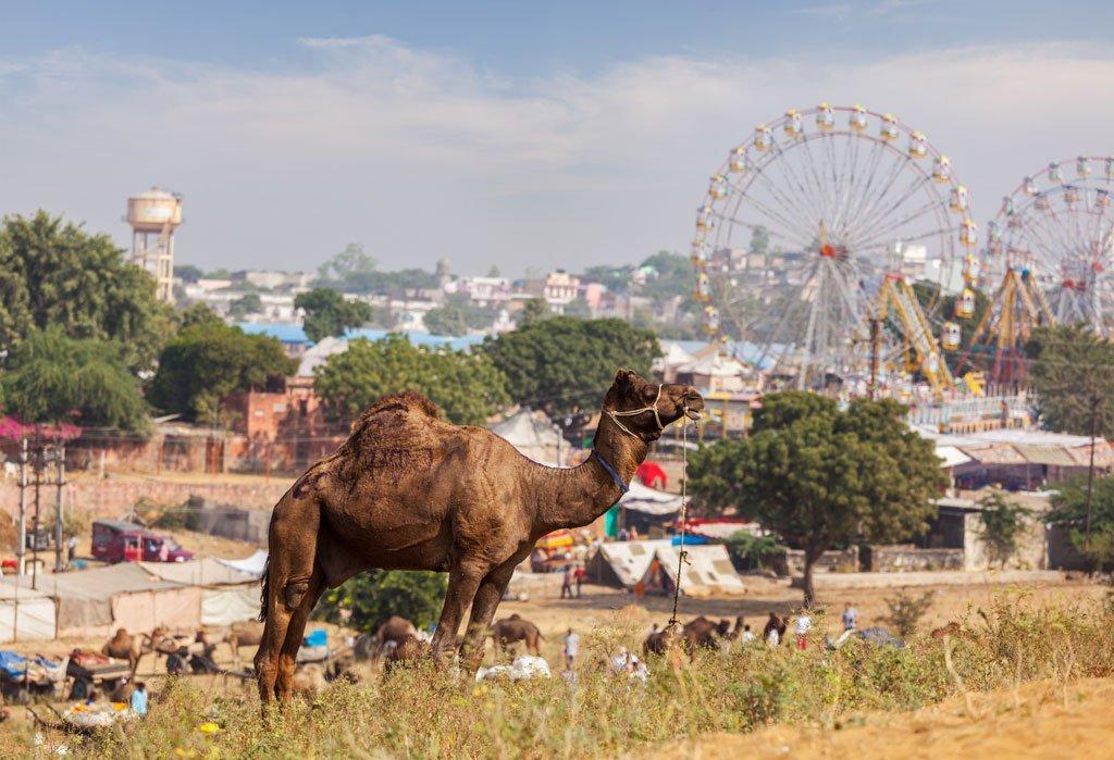 Puskhar Camel Fare